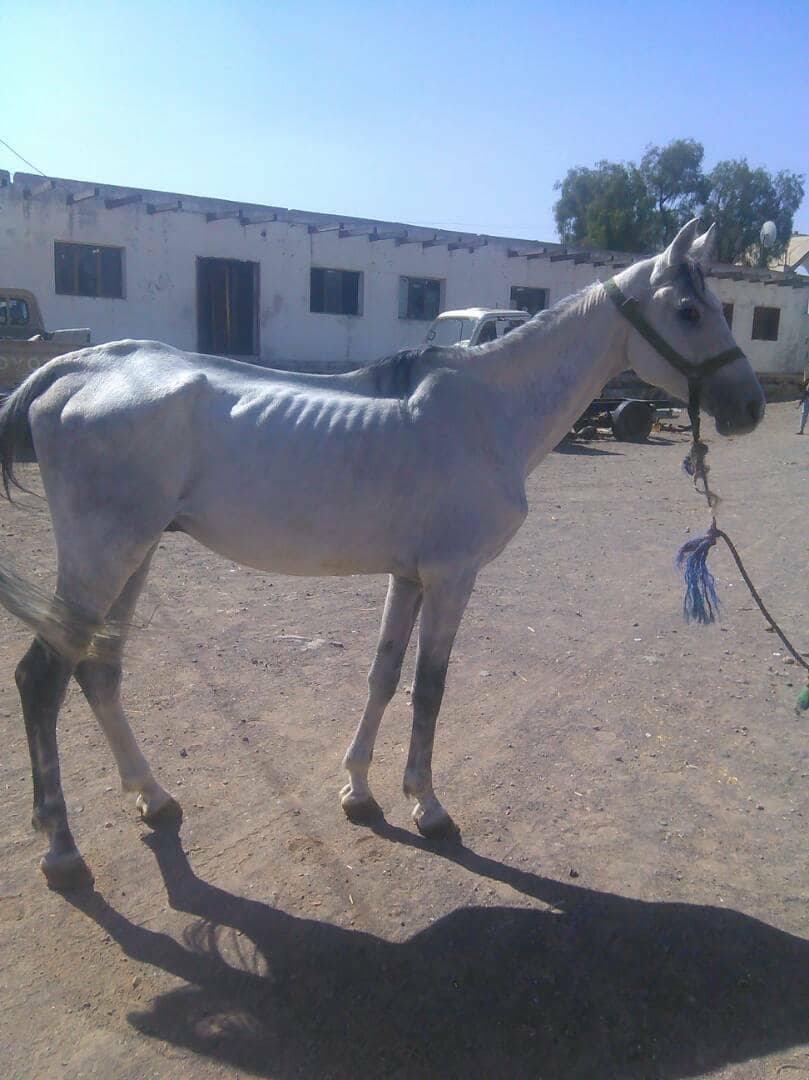 Dhamar horse OWAP AR rescue Yemen 4 dec 2017.jpg