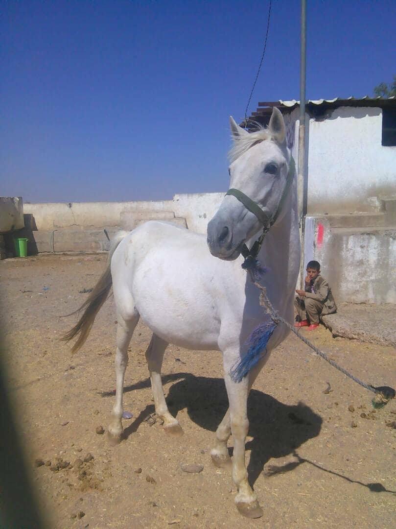 dhamar pure bred starving in Dhaùmar Farm yemen 4 dec 2017 www.oneworldactorsanimalrescues.org.jpg