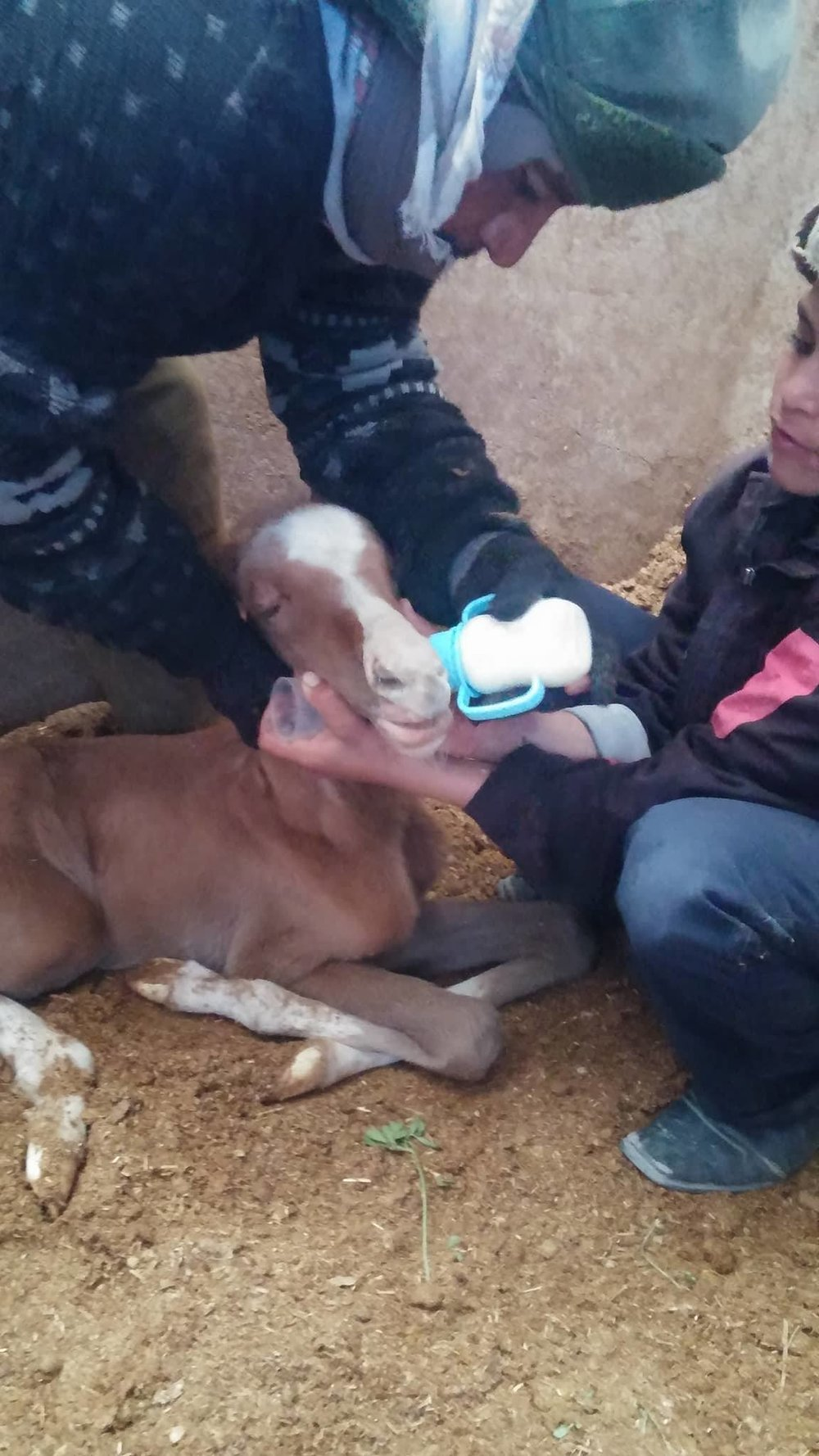 Dhamar feeding foal with difficulty OWAPAR 21 dec 2017 Yemen Rescue.jpg