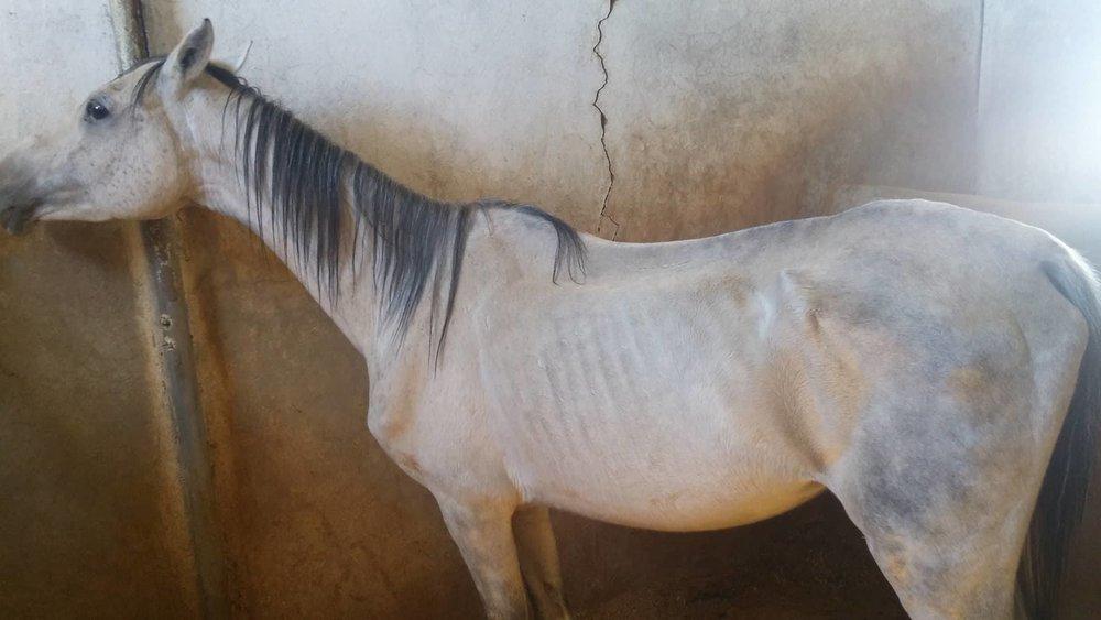 dhamar horse arabian 21 dec 2017 OWAP AR rescue Muaad pic.jpg