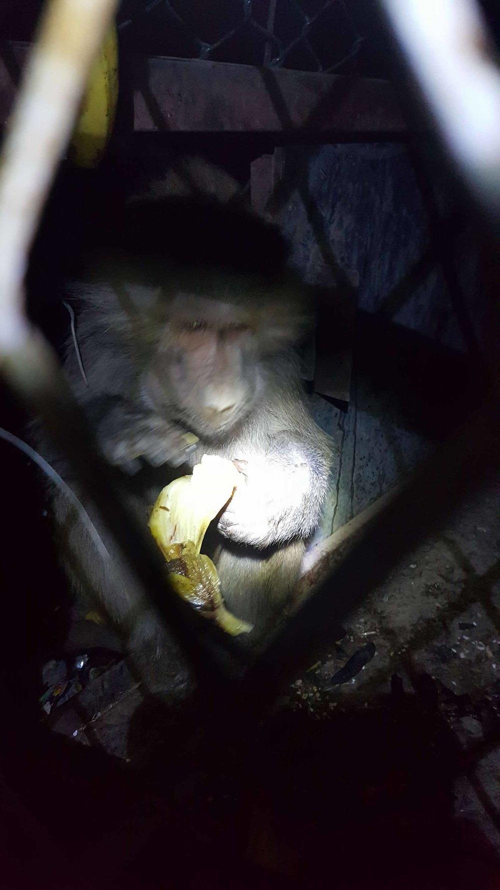 Ibb Zoo nighttime feed OWAPAR 20 dec 2017 baboon with our banana.jpg