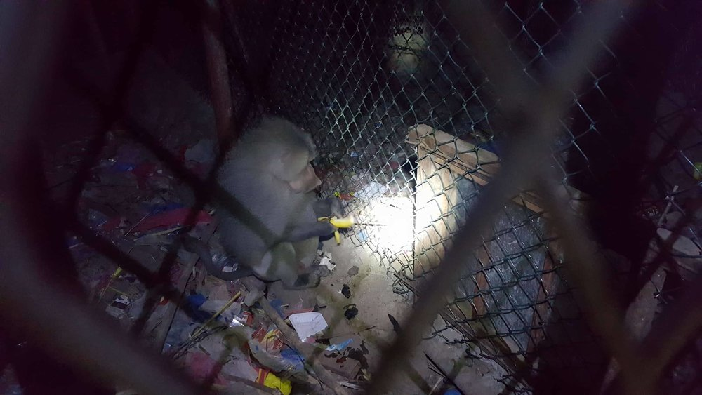 ibb zoo baboon nighttime feed 20 DEC 2017 OWAP AR salman.jpg