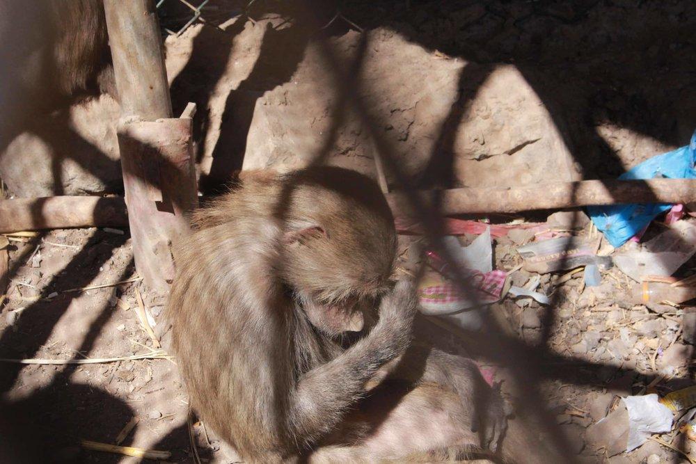 ibb zoo desperate baboon 20 DEC 2017 OWAPAR Copywrite Salman alhadi yemen.jpg