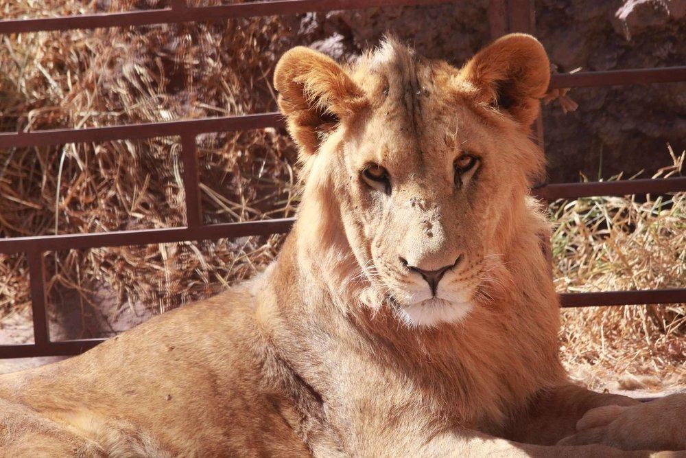 ibb zoo lion hungry OWAP AR 20 DEC 2017 photo by Salman AlHadi.jpg