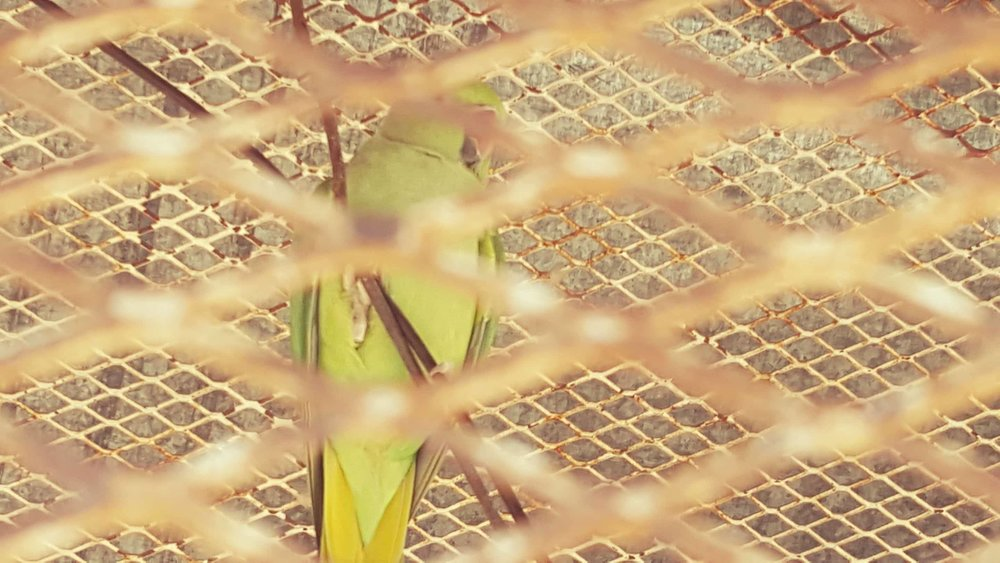 Ibb Zoo parrot 22 dec 2017 OWAP AR yemen Salman AlHadi pic .jpg