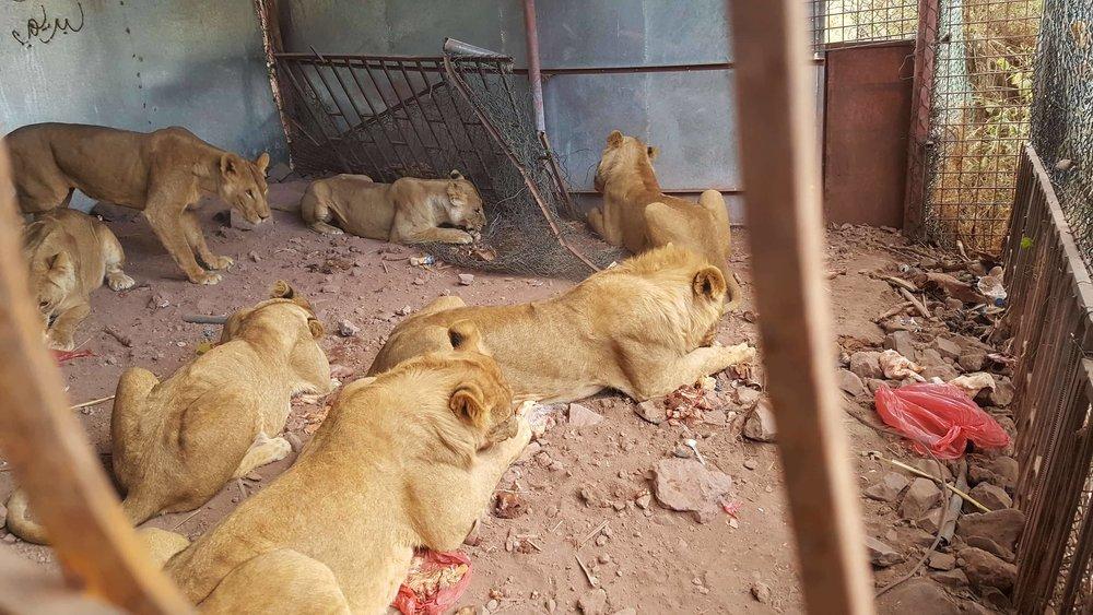 Ibb Zoo lions with our meat 29 DEC 2017 OWAPAR Salman photo Yemen rescue.jpg