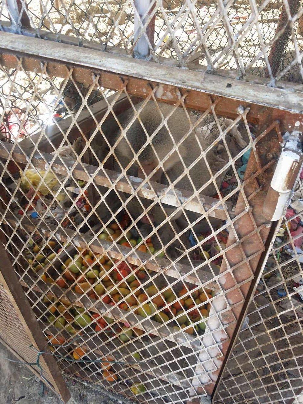 Ibb Zoo 4 Jan 2018 OWAP AR Salman delivery  baboon with fruit .jpg