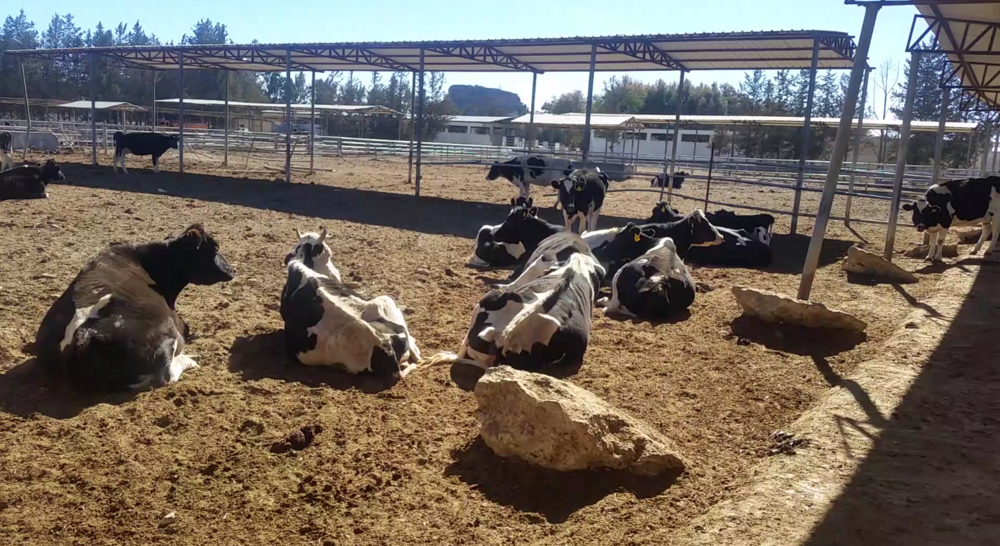 dhamar cows 13 Jan 2018 starving at Rosabah Farm 150USD sent to helal OWAP AR.png
