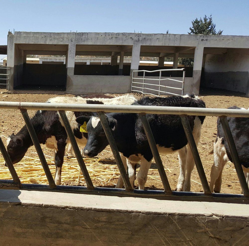 Dhamar Rosabah Farm cows starving also OWAP AR 11 jan 2018 .jpg
