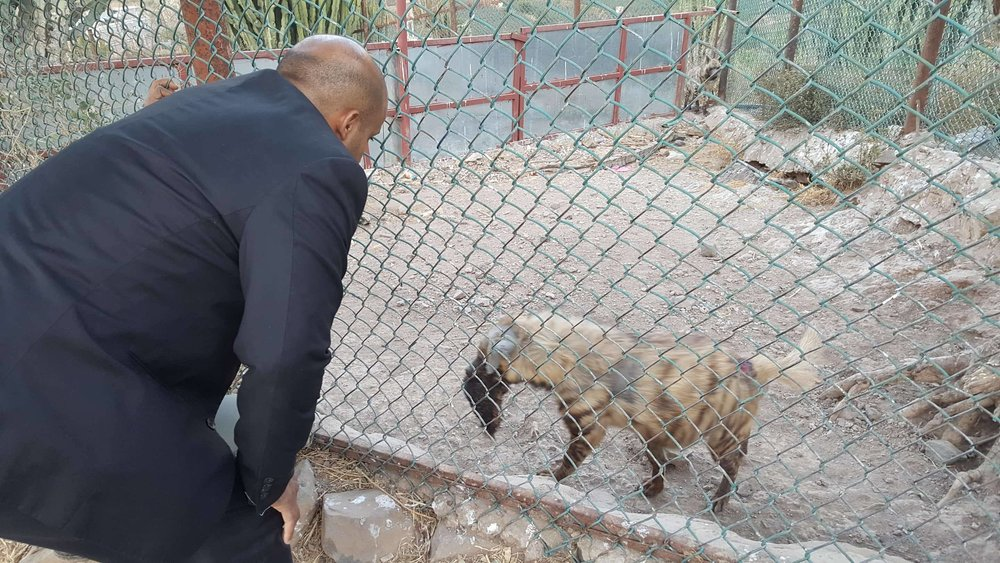 IBB ZOO 10 FEB 2018 MUAAD OBSERVING THE WOUNDED HYENA before treament for owapar.jpg