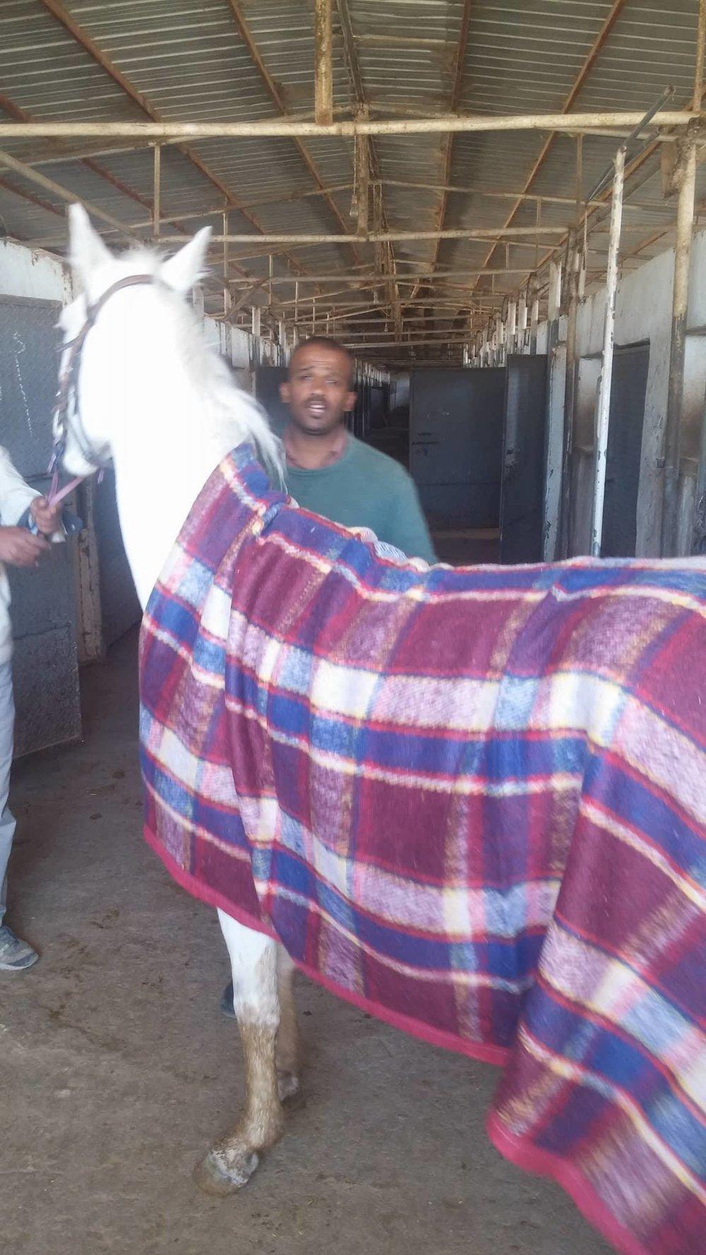 DHAMAR HORSE WITH BLANKET OWAPAR with muaad 26972177_402217110208478_789957212_o.jpg