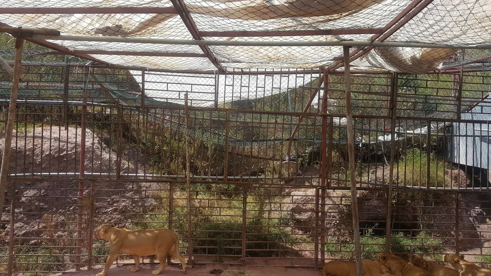 Ibb Zoo lounging lions left hand side section of the enclsoure we built OWAP AR salman's pic 13 oct 2017.jpg