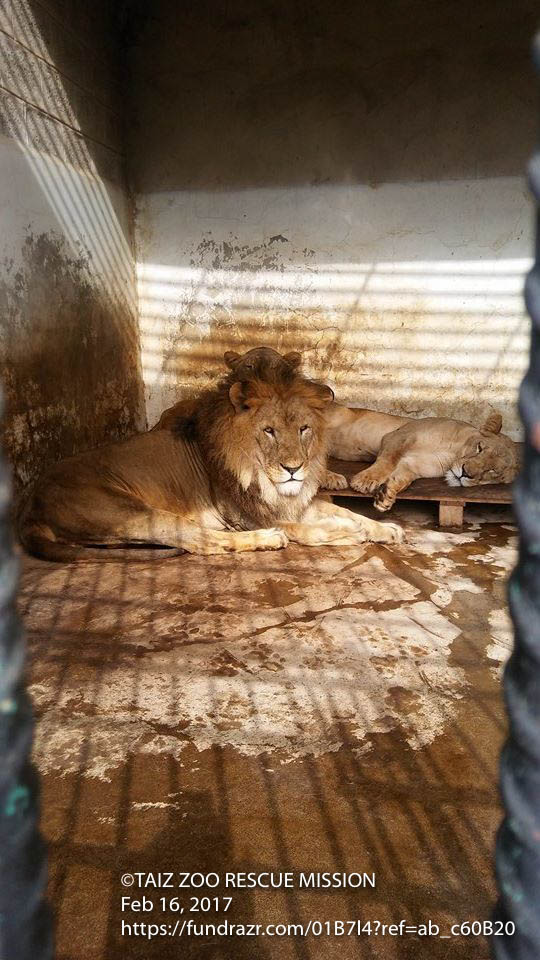 Feb 16th 2017 Kim's Lawyer big day Taiz Zoo Yemen Kim Michelle's Lawyer Al Sharabi.jpg