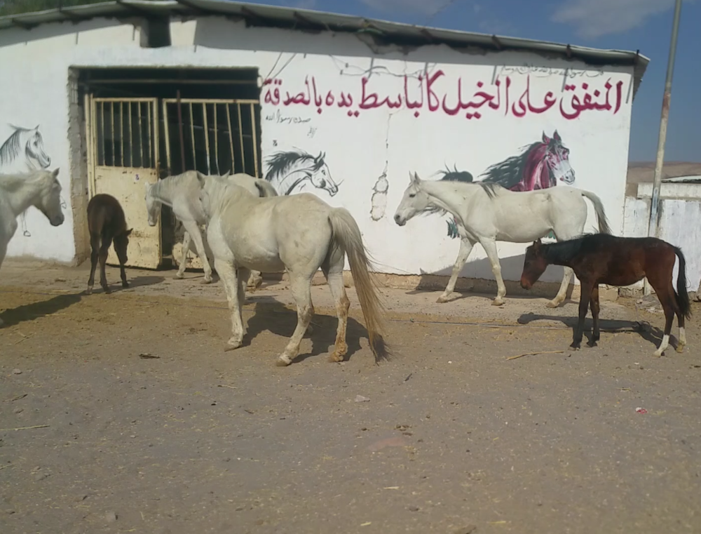 dhamar mare and foal s 26653584_1507316996054317_1160177125_o.png