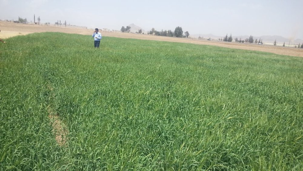 DHAMAR BARLEY FIELD NEARER ROSABAH FARM AND CHEAPER THAN AT MARKET for OWAP AR 28 FEB 2018 .jpg