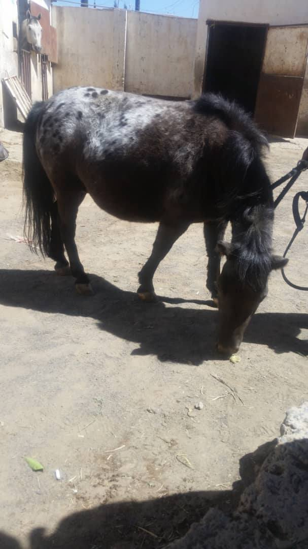 RIDING CLUB SANAA 9 OCT 2018 HORSE PREGGERS I THINK YEMEN RESCUE OWAP AR CHARITY.jpg