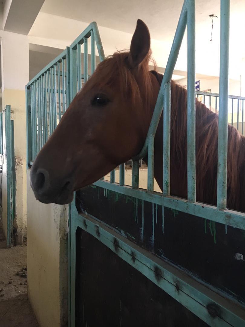 Police Academy 1 Nov 2018 sana'a yemen police horse rescue Nada visit.jpg