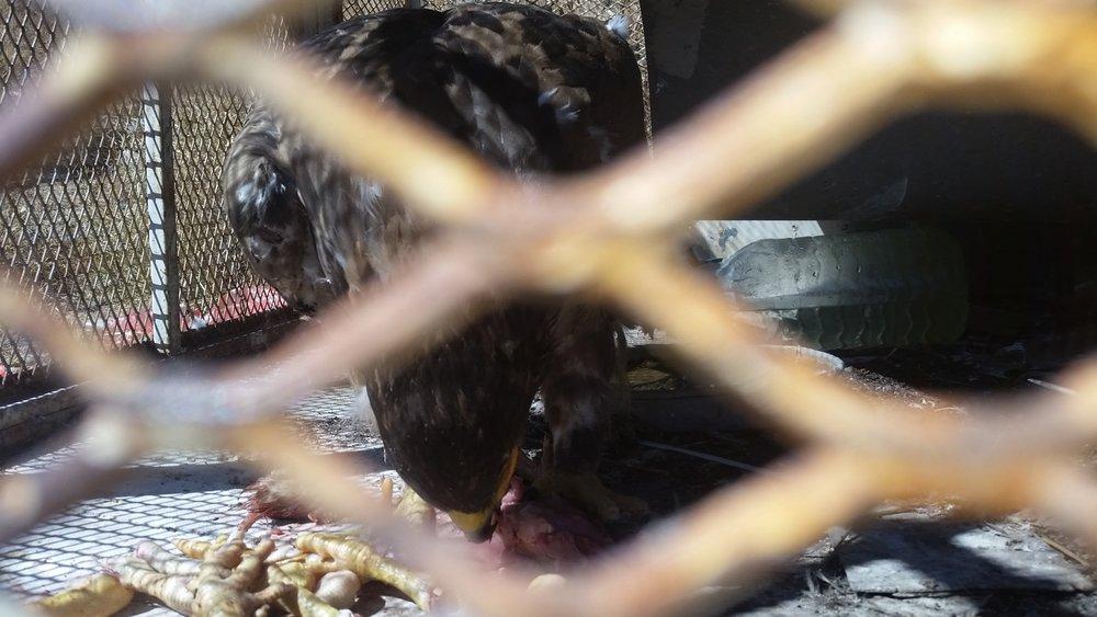 ibb zoo yemen rescue close up eagle eating OWAP AR chicken by Hisham 18 NOV 2018.jpg