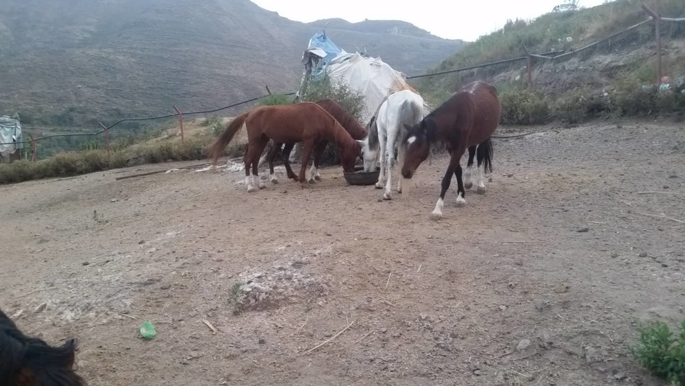 ibb zoo rescue yemen 17 NOV 2018 5 horses eating our special feed delivery today Hisham pic.jpg