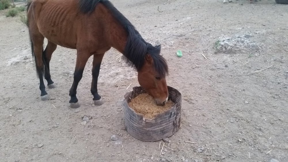 ibb zoo rescue OWAP-AR horse eating special feed found by Hisham and delivered tofday they love it OWAP-AR providing 17 NOV 2018.jpg