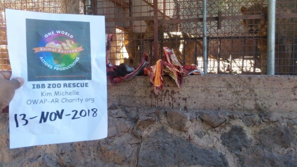 ibb zoo yemen OWAP-AR rescue 13 NOV 2018 we feed the lions hisham pic Coordinator.jpg
