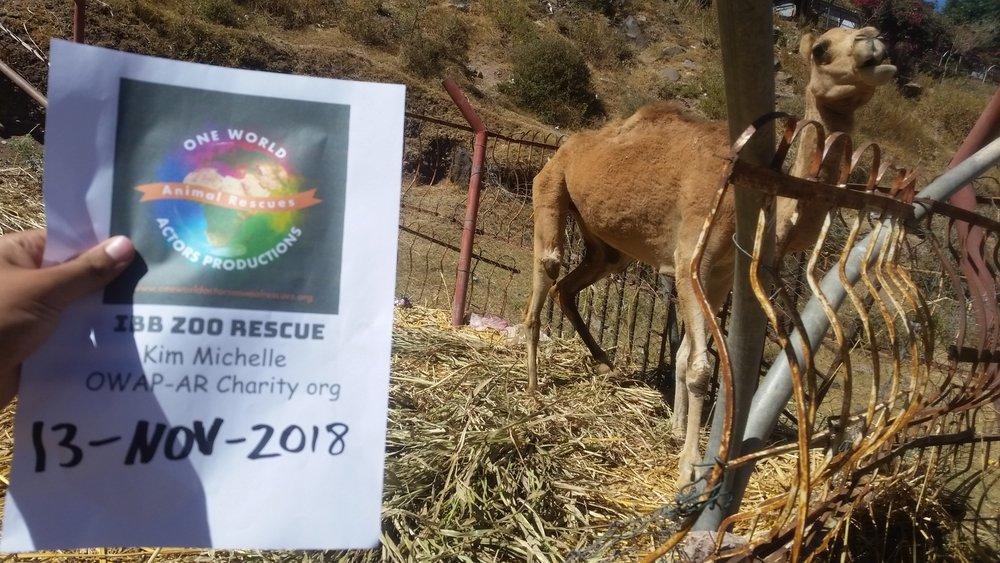 ibb zoo feeding camels fodder by OWAP-AR provider hisham pic 13 NOV 2018.jpg