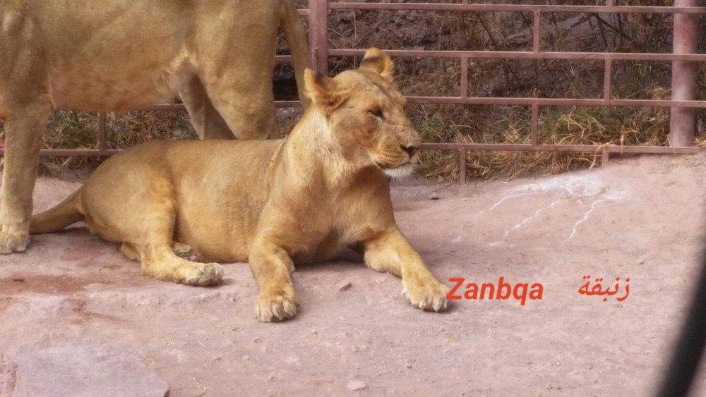 ibb zoo yemen OWAP AR rescue ZANBQA Lion name 7 NOVember 2018 fed and digesting Hisham pic.jpg