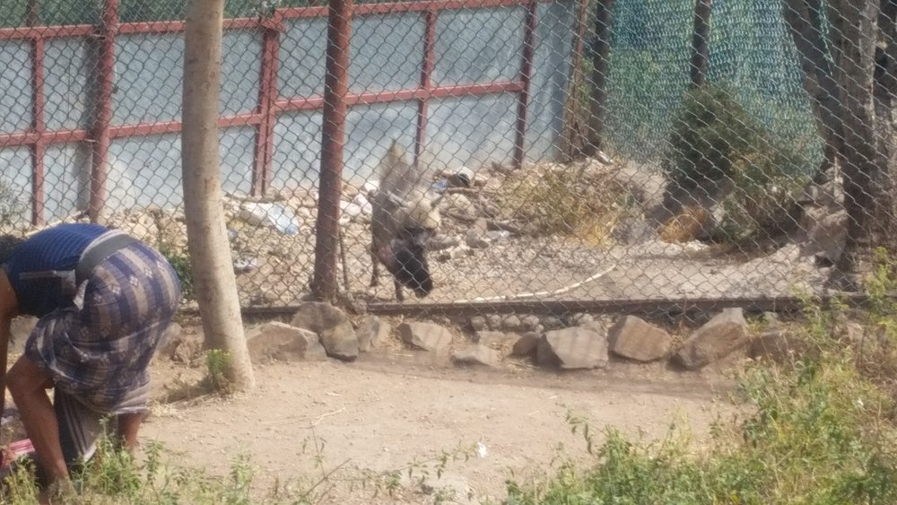 IBB ZOO hyena gets food too 7 nov 2018 butcher being paid 5000Rials by OWAPAR yemen rescue.jpg