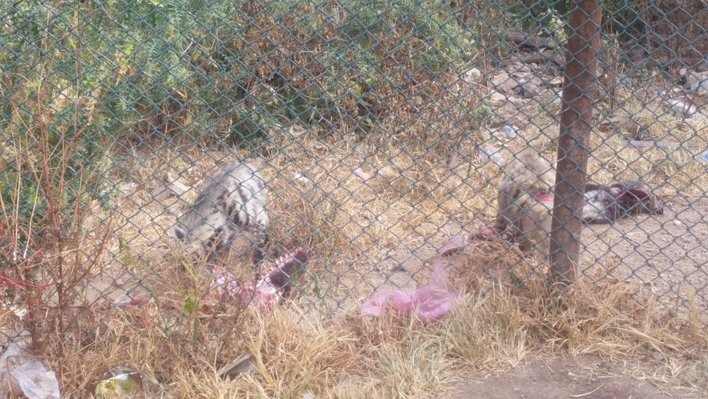 ibb zoo the other 2 Hyenas eating OWAPAR's delivery 7 NOV 2018 yemen zoo rescue.jpg