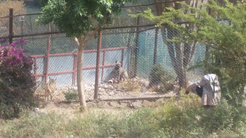 Ibb zoo 2 of the 4 Hyenas 7 NOV 2018 getting our meat delivery from OWAP-AR yemen rescue hisham pic.jpg