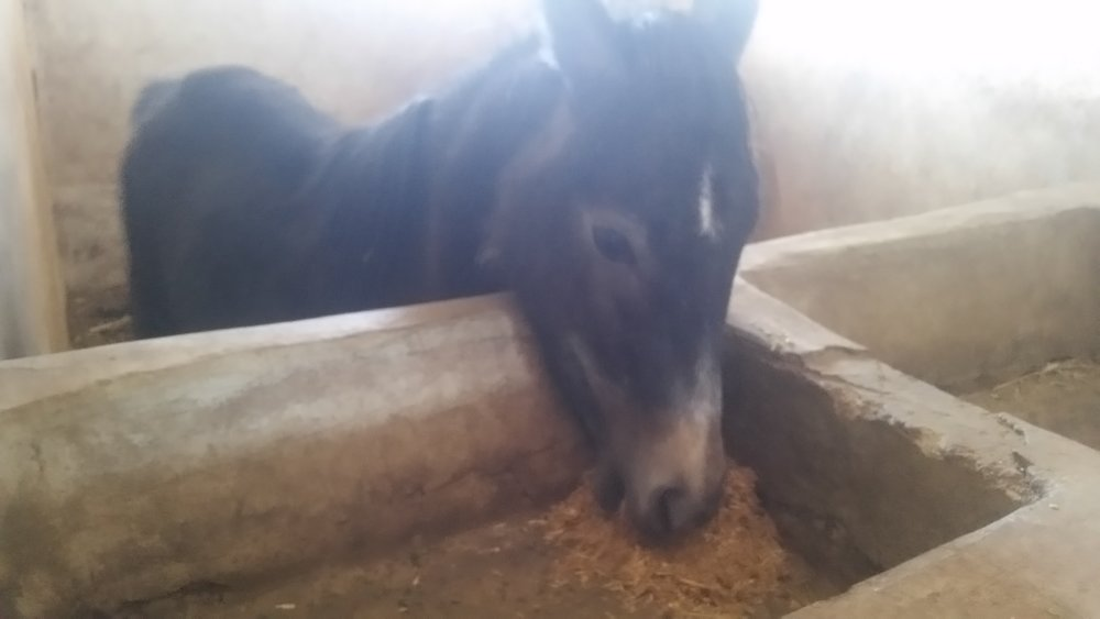 qrab feeding pony OWAP-AR delivery 30 NOV 2018 to dhamar our horse rescue.jpg
