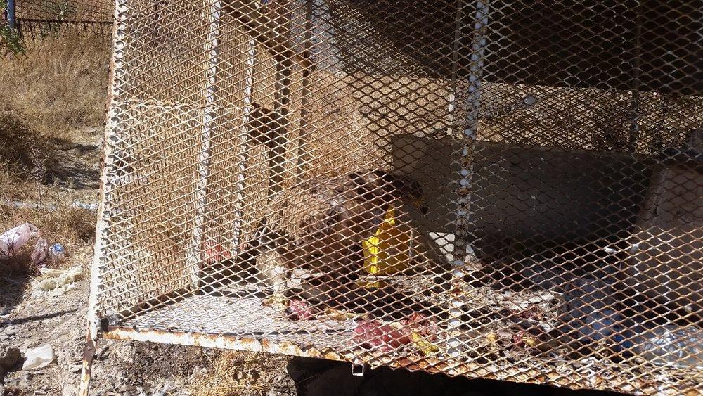ibb zoo eagle 12 DEC 2018 with our food  by OWAP AR.jpg