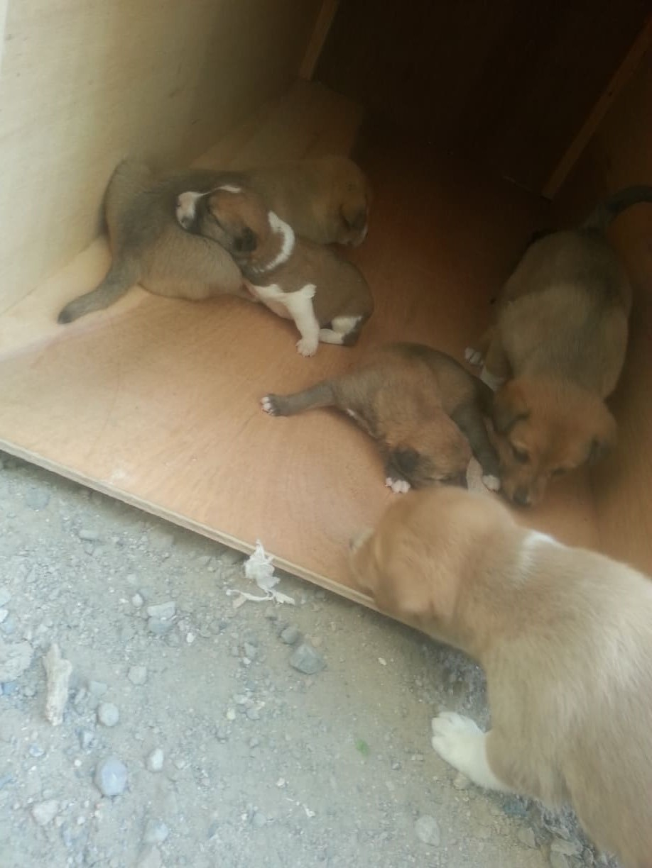 stray sana'a pups discovering new kennel by hisham 31 DEC 2018 OWAP AR yemen rescue mission.jpg