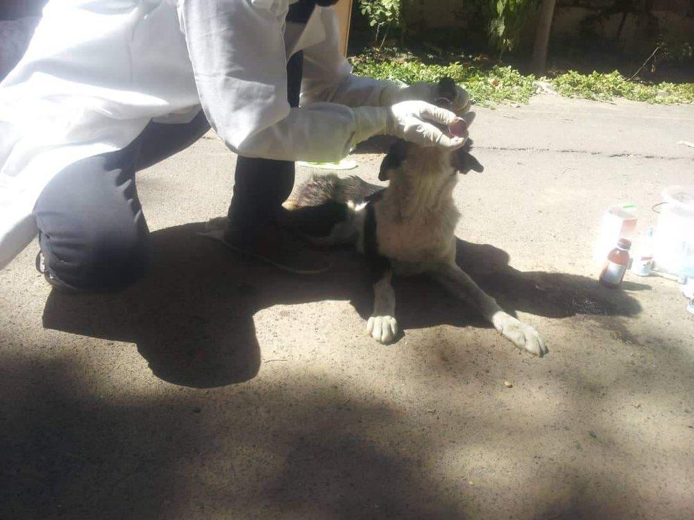 LUCY 4 JAN 2019 by OWAP AR vet giving her antibiotics sana'a yemen stray animals rescue.jpg