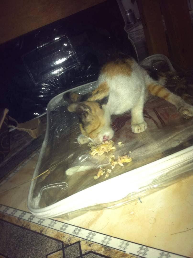 stray ADEN cat 6 JAN 2019 eating from Akram's hand OWAP AR rescue.jpg