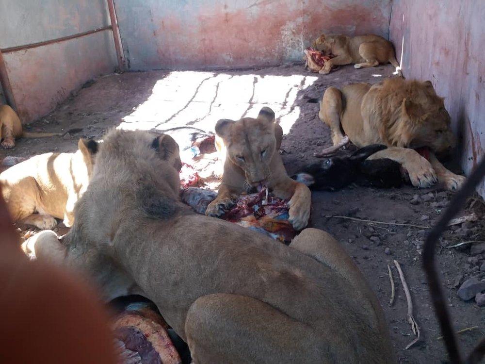 Ibb zoo OWAP AR feeds the lions 11 jan 2019 yemen rescue  hisham 's brother photos.jpg