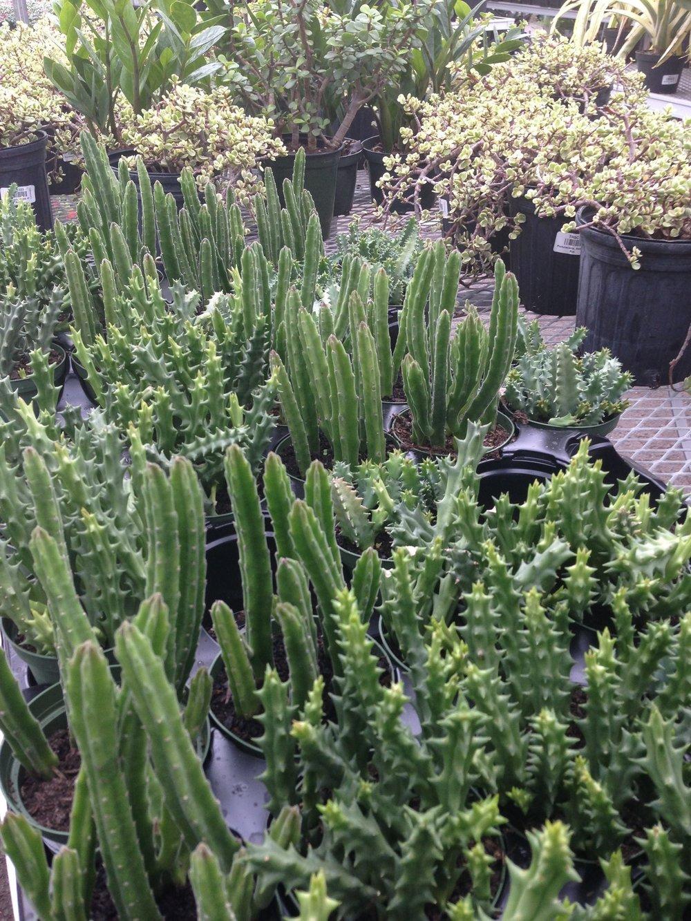 wholesale cacti