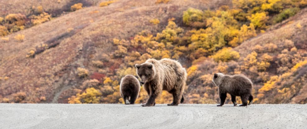 Brown Bear with cubs.