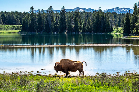 Yellowstone is a place where the buffalo roam free.  Please treat them with the utmost respect as that hasn't happened recently with the gentlemen taunting and harassing the buffalo.
