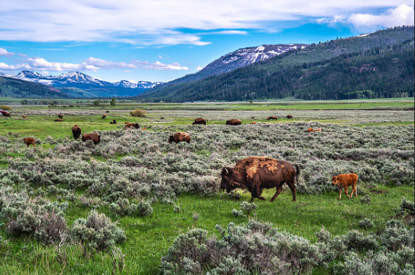 The wildlife roam in ample space at Yellowstone.