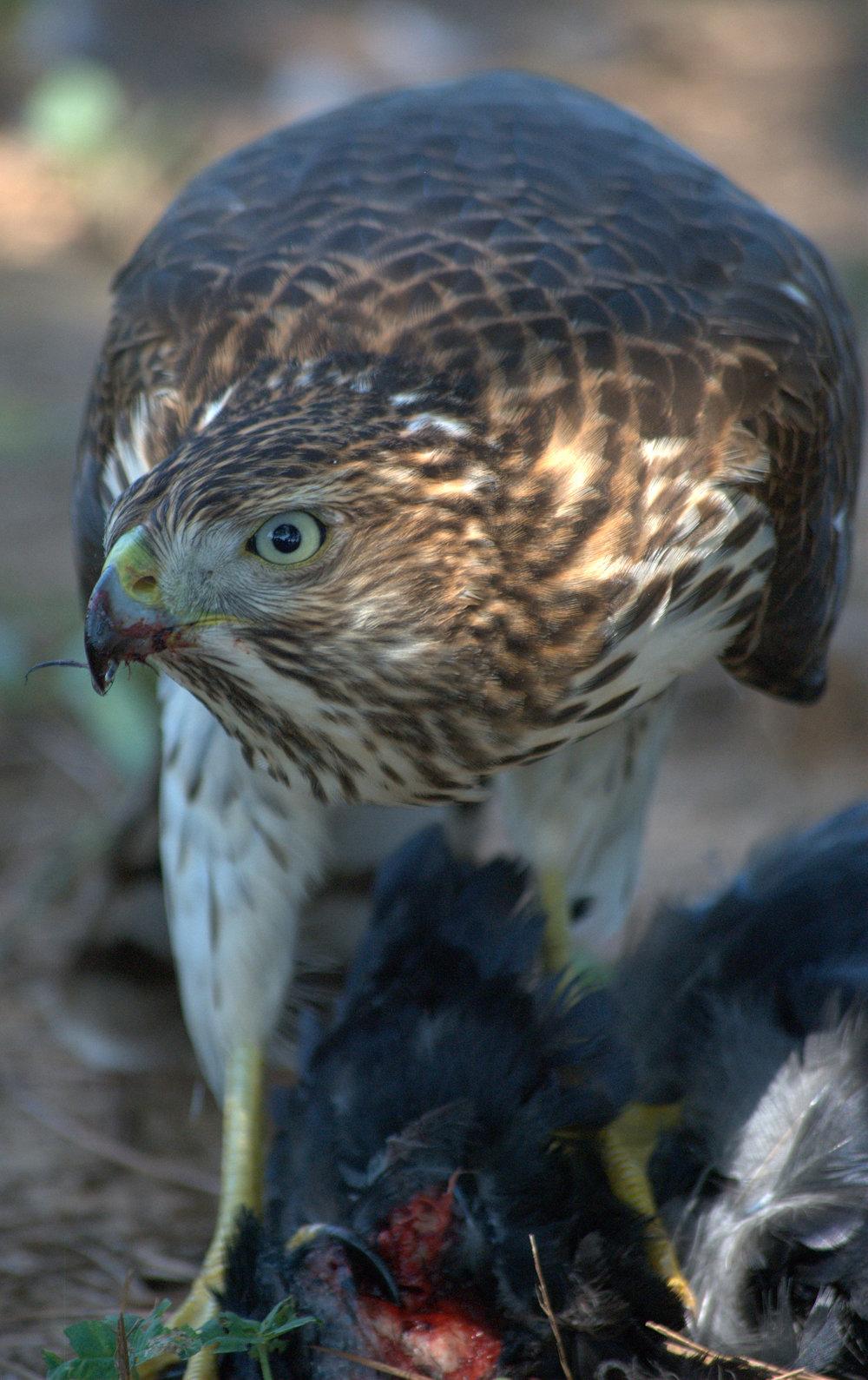 Hawk5.jpg
