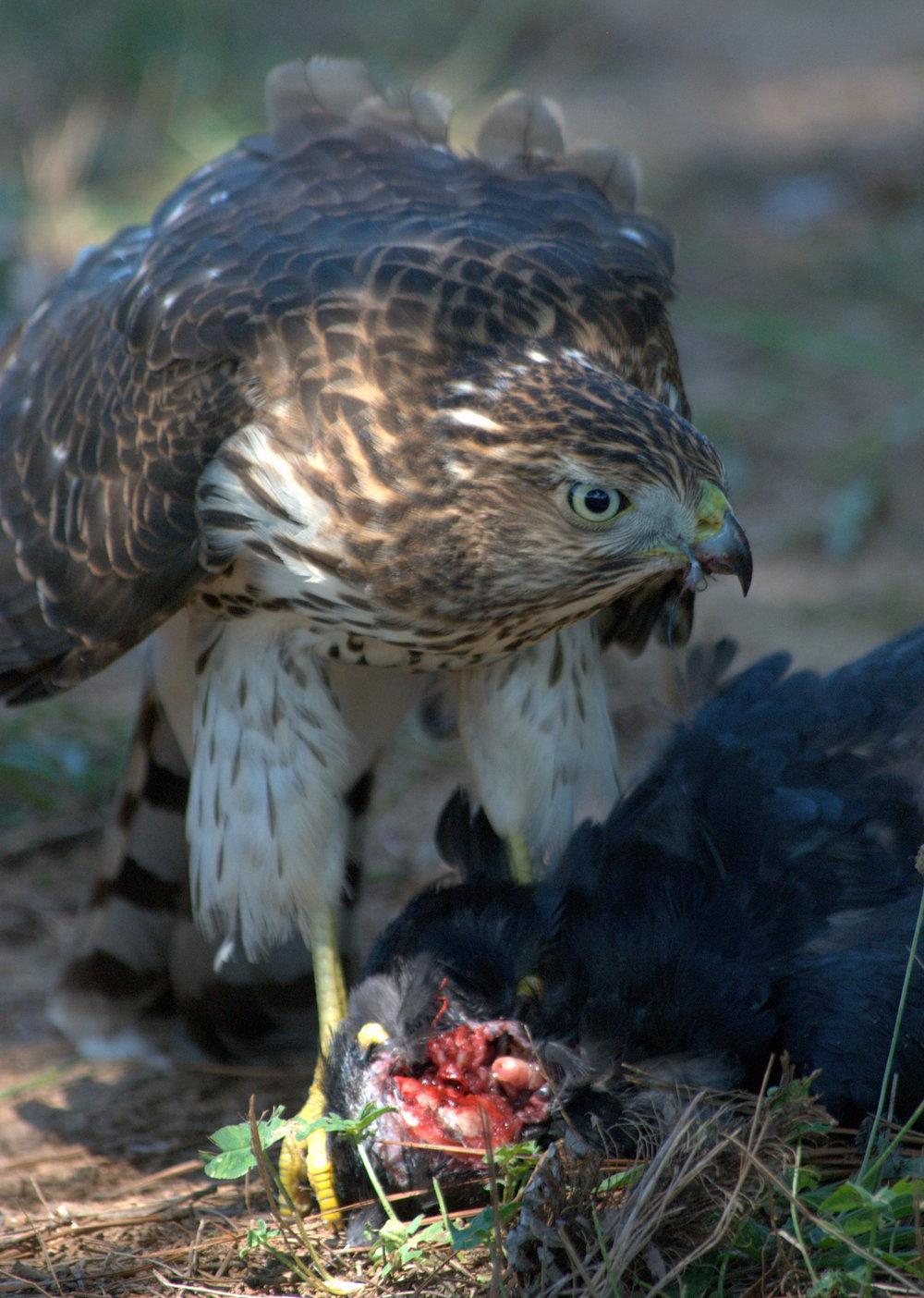 Hawk11.jpg