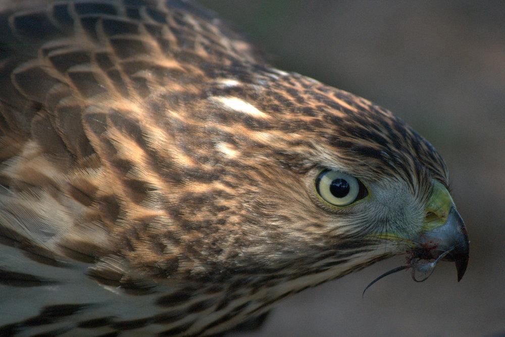 Hawk14.jpg