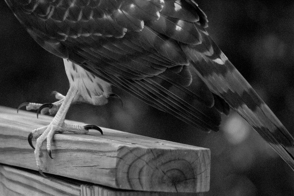Hawk15.jpg