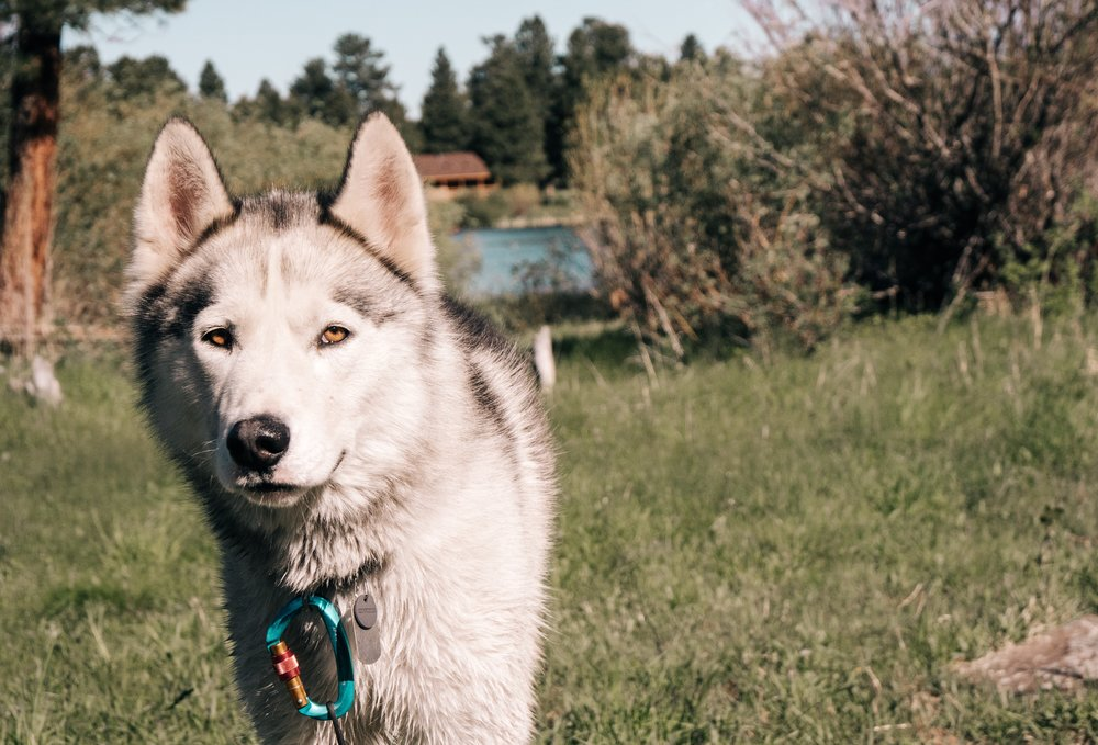 Ophir Dog drying off at camp from a swim in Greens Lake, pictured behind him. | Edward Arthur Dalton