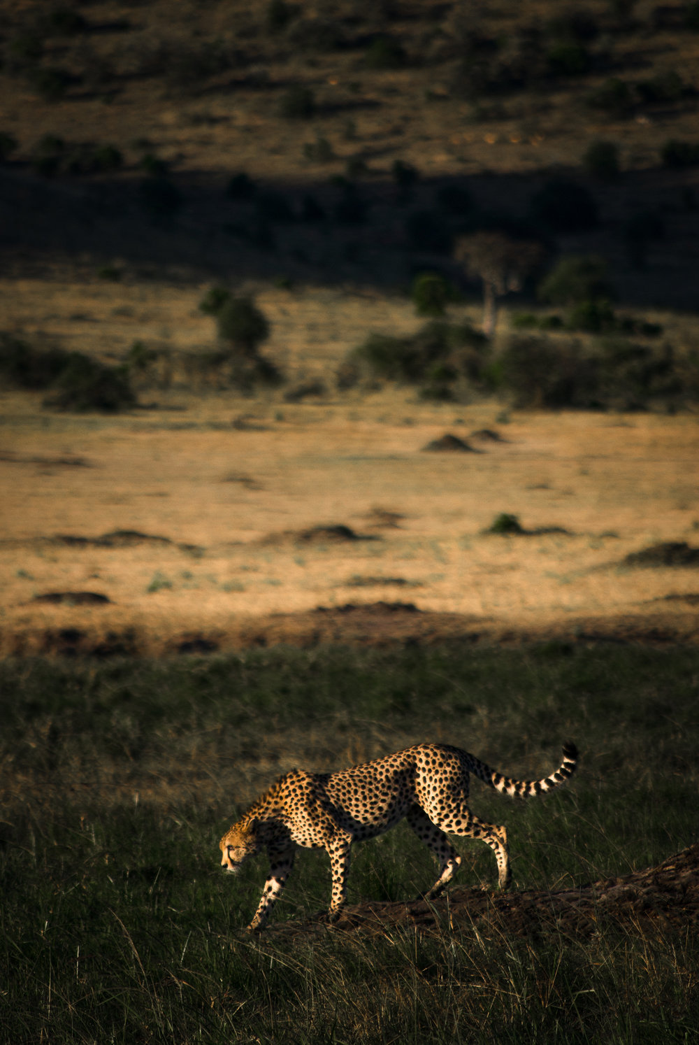 Taken in the Masai Mara National Reserve in Kenya with a Nikon D80.
