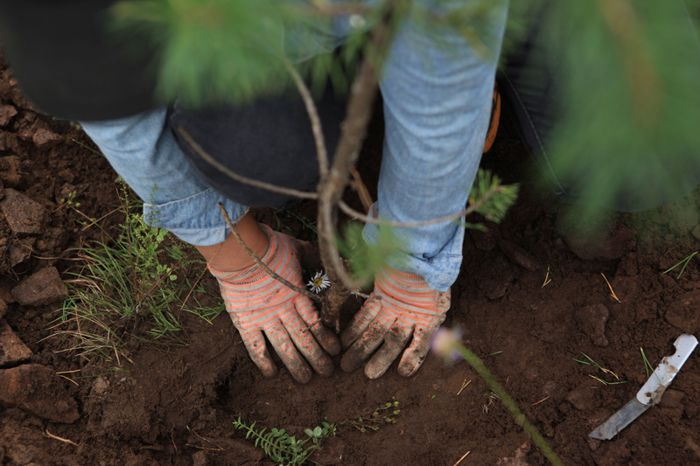 A worker in China plants a pine sapling as part of the country's ambitious plan to reforest its landscape. Credit: Xinhua/ZUMA Wire