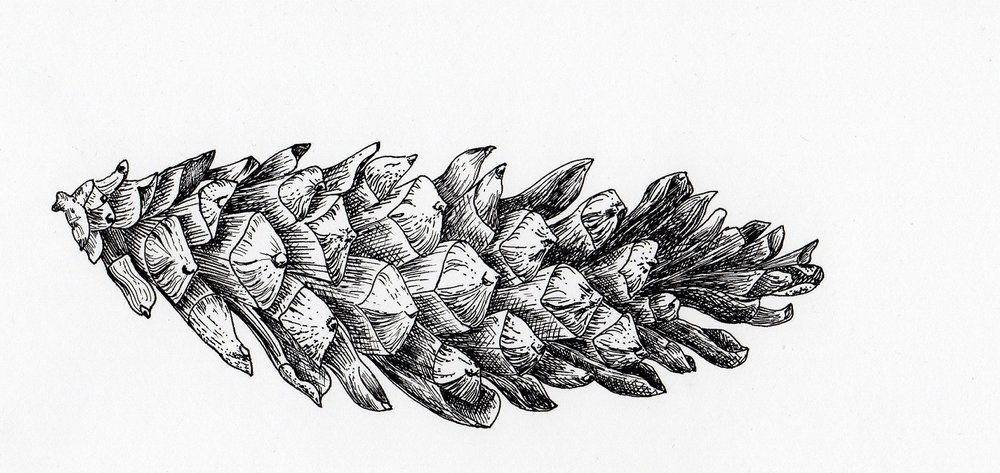 Another pine cone