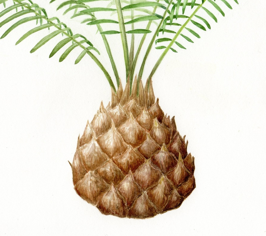 Cycad trunk