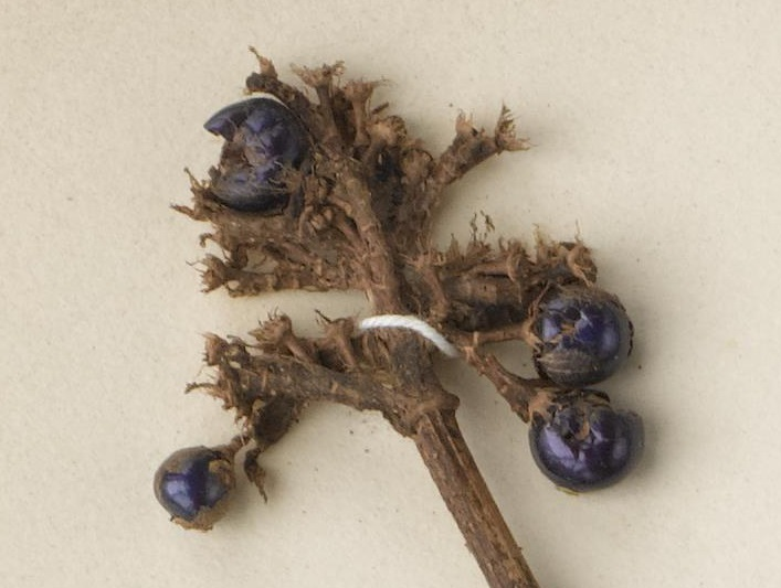 The berries on this specimen are about 5mm in size and retain their metallic blue appearance which is caused by structural colour rather than pigment.